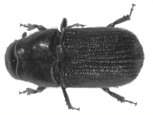 mountain pine beetle research paper Research projects that by 2017 roughly 70% of the western province's mature pine will have been killed off here too, climate change is the main contributor to the problem.