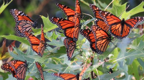 Saving The Monarch Butterfly  U2013 Climate Institute
